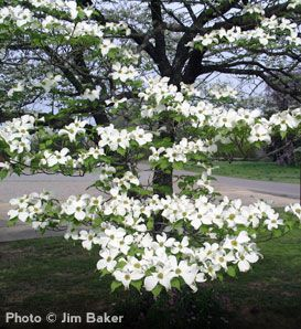 White Dogwood Cornus Florida Showy White Spring Flowers Add Color To Your Landscape All Four Seasons Red Purp Dogwood Trees Flowering Trees White Flowers