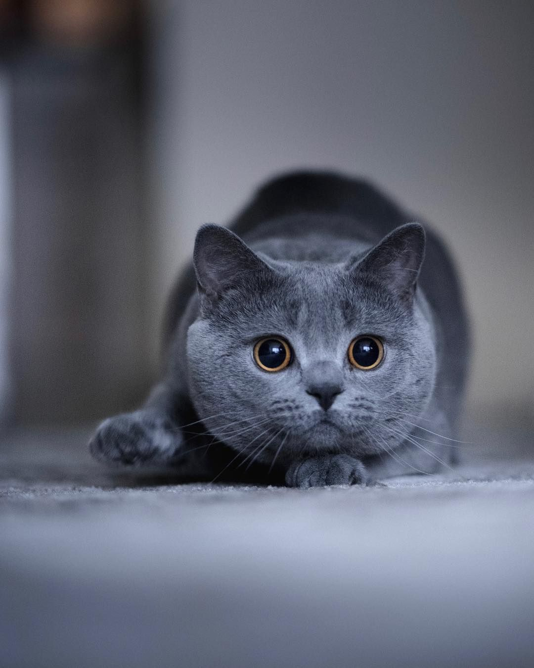 Wolfgang British Shorthair On Instagram Let Me Show You The Dance Of My People British Shorthair Kittens British Shorthair British Shorthair Cats