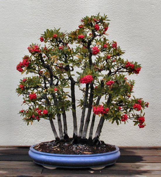 red forest bonsai bonsai baum zwerg und natur. Black Bedroom Furniture Sets. Home Design Ideas