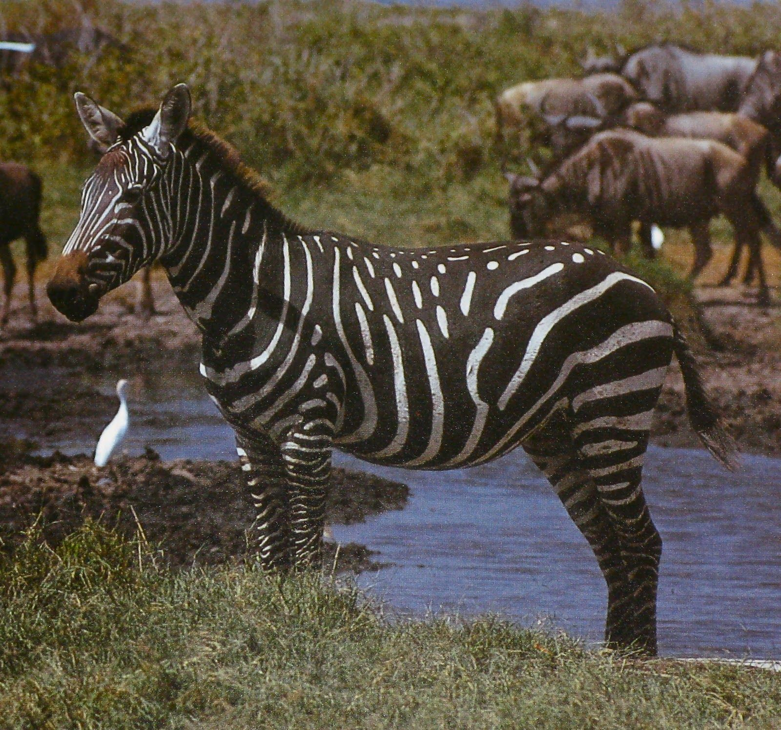 Sometimes Zebras Are Born With Some Strange Stripe