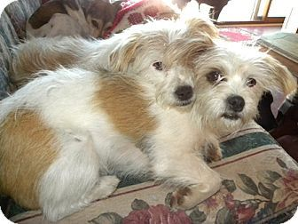 Yorkie Russell Yorkie X Jack Russell Terrier Mix Facts Diy