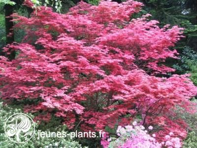 Acer palmatum 39 shishio improved 39 erable du japon shishio for Plantes japonaises exterieur