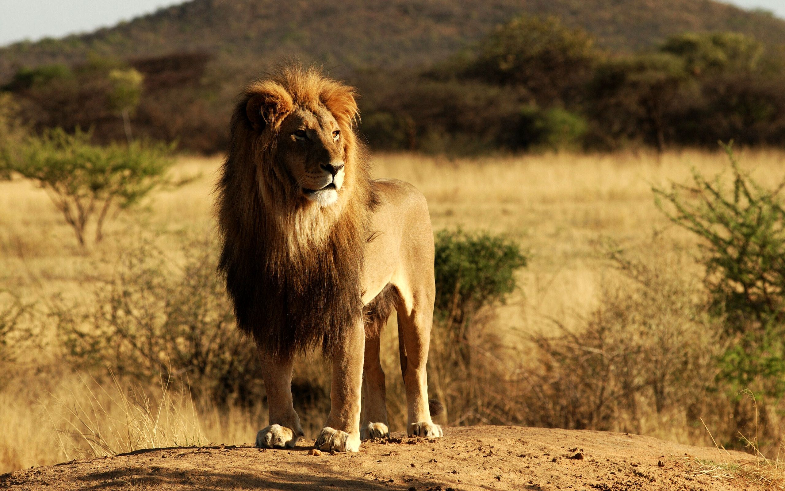 Pin By Hd Wallpapers On Hd Wallpapers Pinterest Lion Lion