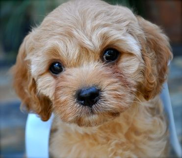 Good Cavapoo Brown Adorable Dog - a32e96ad666db30e24354b7145f48f1a  Best Photo Reference_80393  .jpg