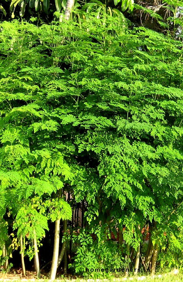 Moringa Tree Growing Caring Health Benefits For The Drumstick Tree Moringa Tree Moringa Growing Tree