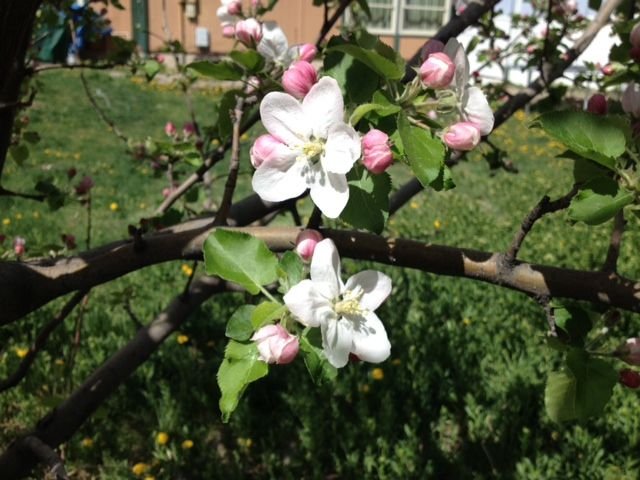 Apple Tree Blossoms!