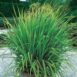 Lemon Grass A Natural Mosquito And Deer Repellent Just Set A Few Plants Around The Patio It Can Also Gramineas Ornamentais Planta Herbacea Capim Limao
