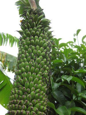 Banana Tree Pictures Fruit