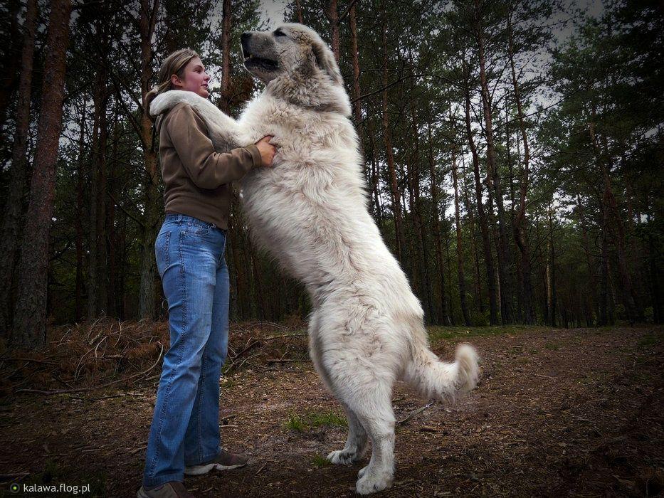 Pirenejski Pies Gorski Rasa Uzytkowana Pierwotnie Do Strzezenia Owiec A Wspolczesnie Jako Pies Strozujacy I Pies Towarzysz Animals Bali