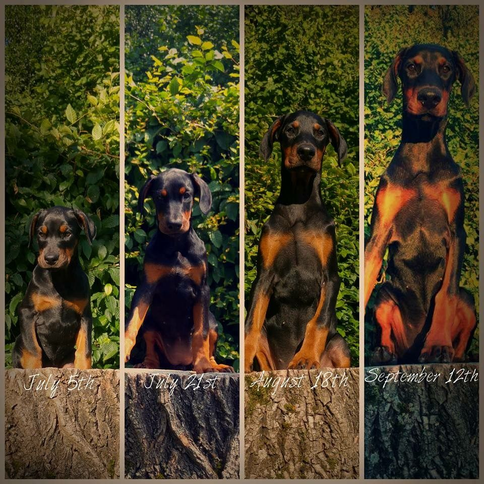 Doberman growth, 2 to 4 months old. Doberman pinscher