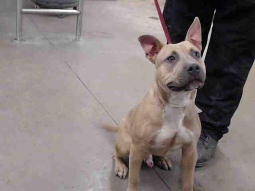 Phoenix Az American Staffordshire Terrier Meet A Dog For