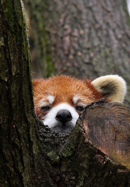 Peek-a-boo Red Panda by Mark Dumont, via Flickr