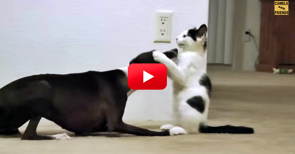 omg this video of a dog and cat playing is the sweetest thing you will see today awesome. Black Bedroom Furniture Sets. Home Design Ideas
