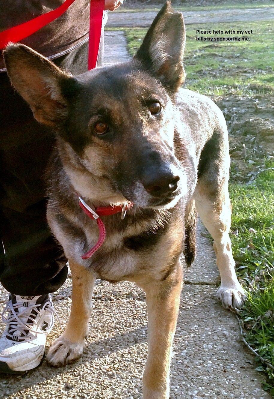 German Shepherd Dog dog for Adoption in Akron, OH. ADN