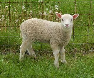 Under The Son Farm - white ewe | Shetland Lambs | Lamb