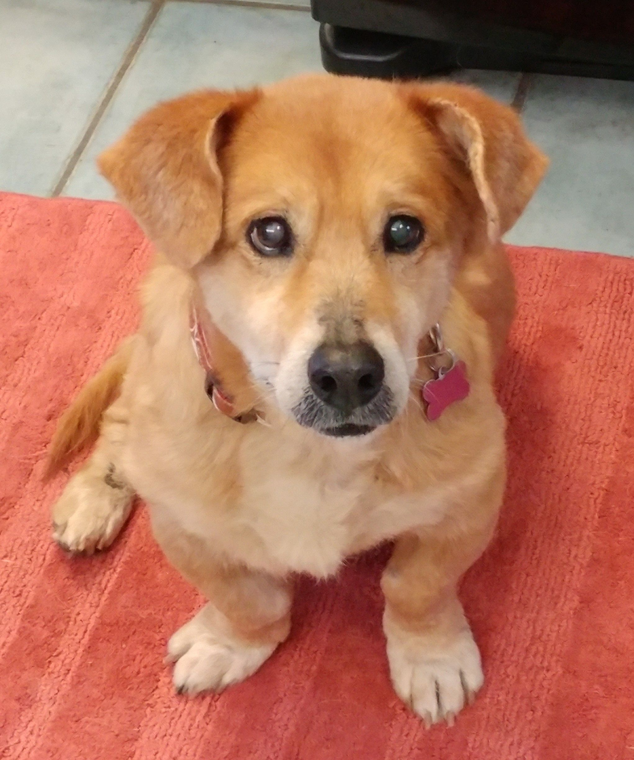 Adopt Robbie On Corgi Golden Retriever Old Golden Retriever
