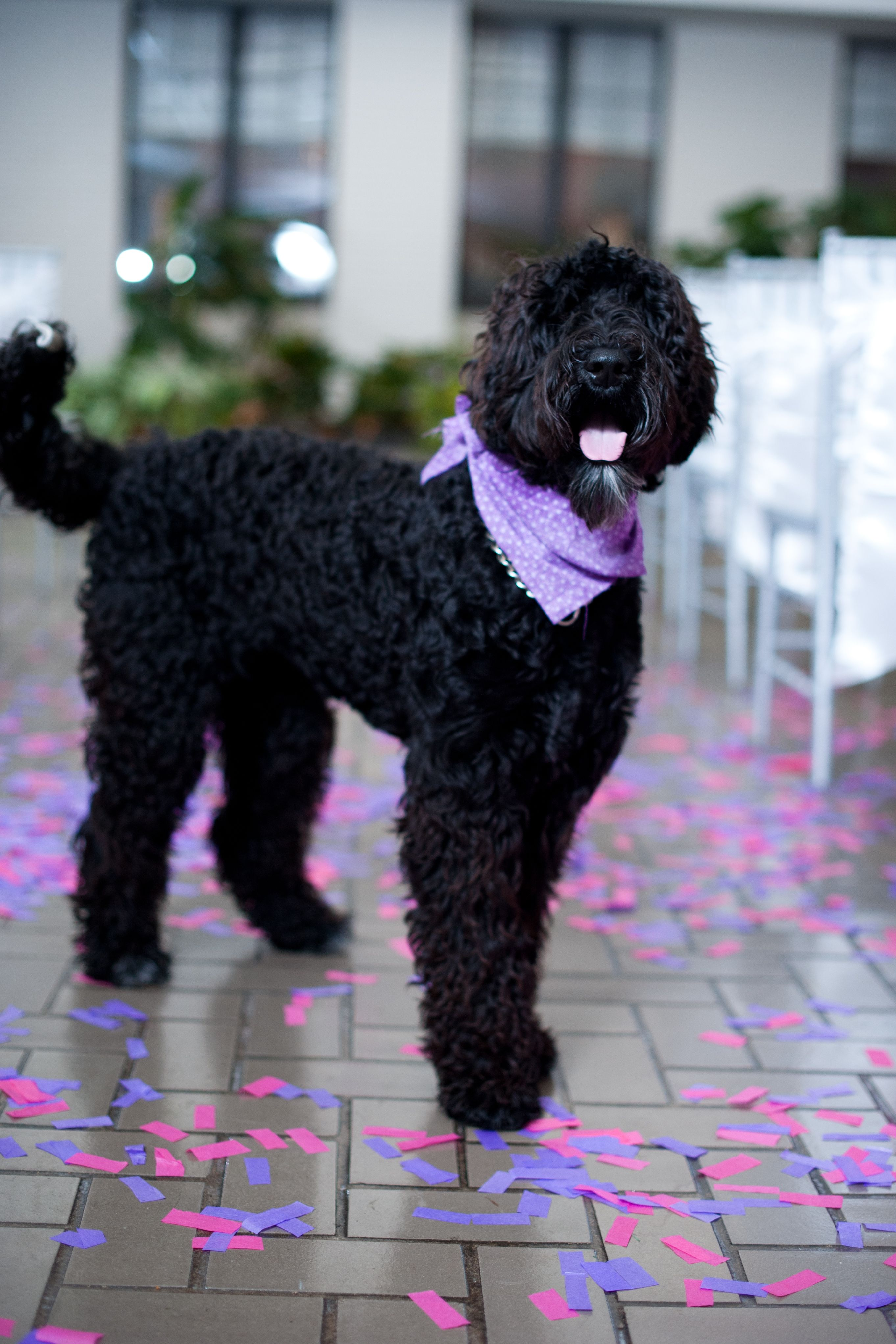 black labradoodle haircuts the smarter way to wed black labradoodle doodle dog