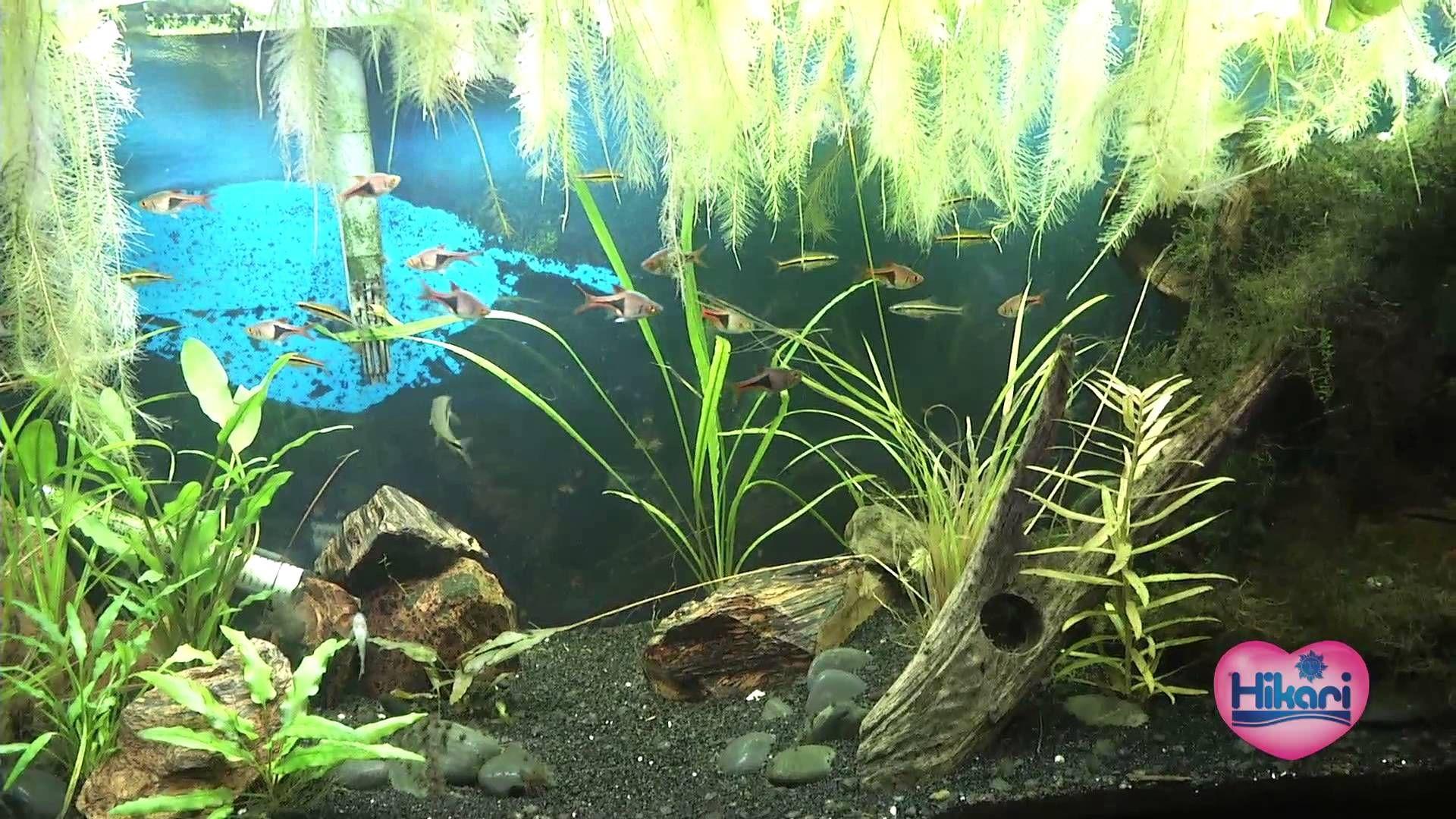 Stocking your 20 gallon aquarium Tank Pinterest