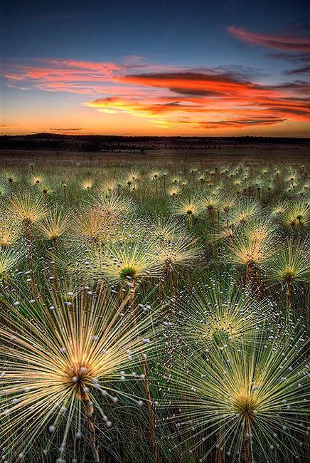 """Campo coberto de Paepalanthus, flores selvagens do cerrado conhecidas como """"chuveirinho"""", """"sempre-viva"""" ou """"bem-casado""""; Brasil"""