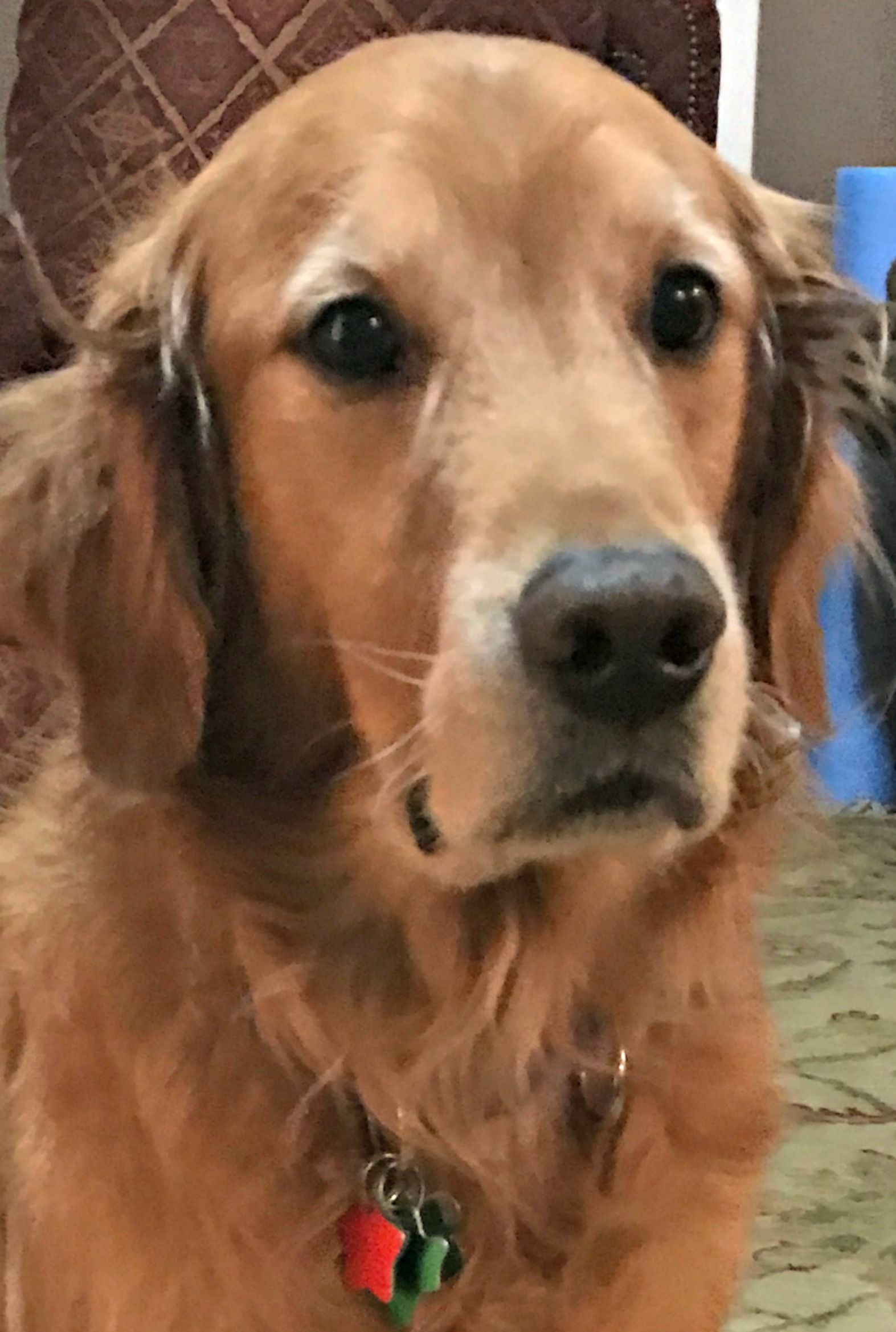 Golden Retriever Dog For Adoption In Fort Worth Tx Adn 407639 On