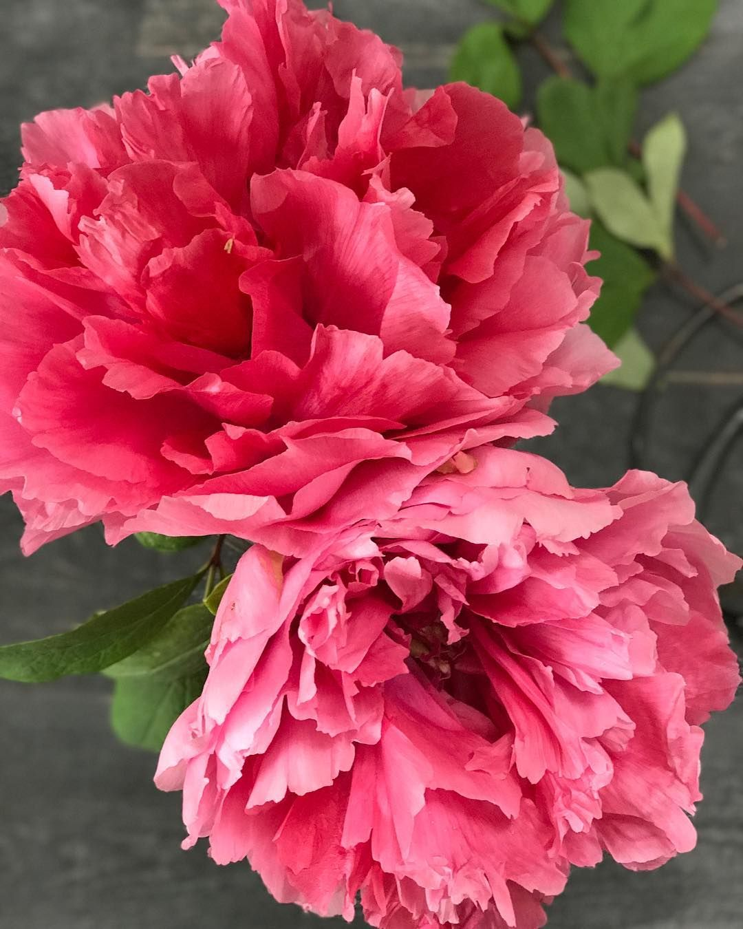 My tree peonies are not prolific, but wow. They live up to their old ...