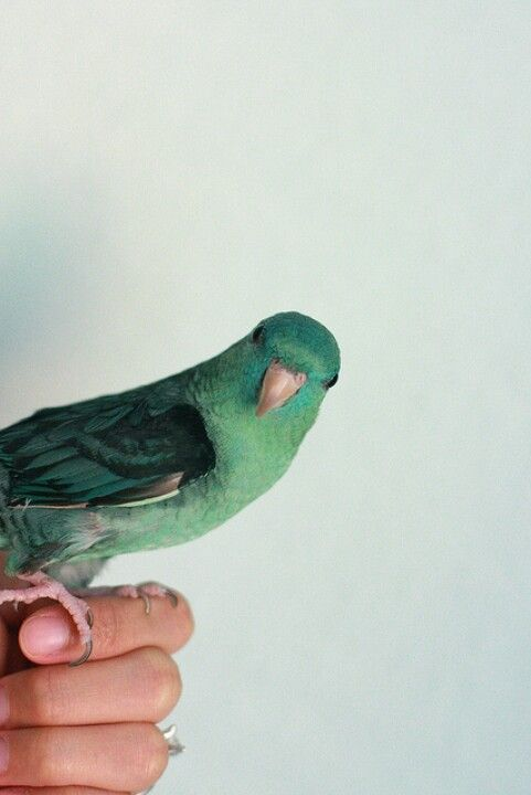 Love Lineolated Parakeets♡