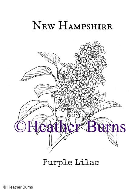 New Hampshire State Flower Purple Lilac Coloring Books Flower