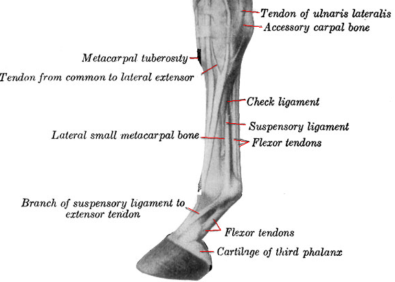 Horse Knee Anatomy Parts Of A Horse And Tack About Your Horse