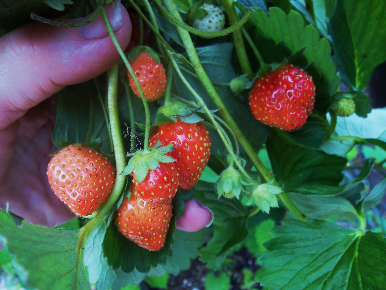 Grow healthy strawberry plants keep bugs rain saturation