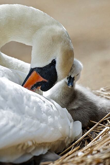 This little cygnet shows how cute baby swans can be