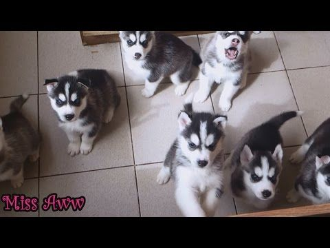 Belka Alaskan Malamute Siberian Husky Our 20 Day Old Pup Howling