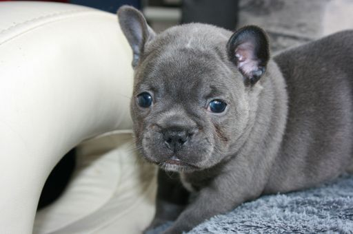 French Bulldog Puppy For Sale In Asheville Nc Adn 24438 On