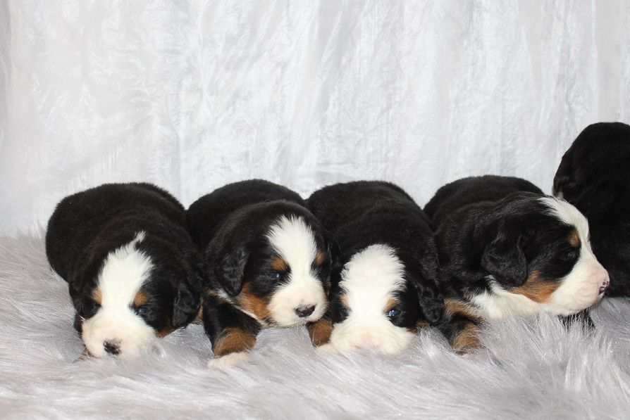 Liam Akc Bernese Mountain Dog Puppies For Sale In Grabill In