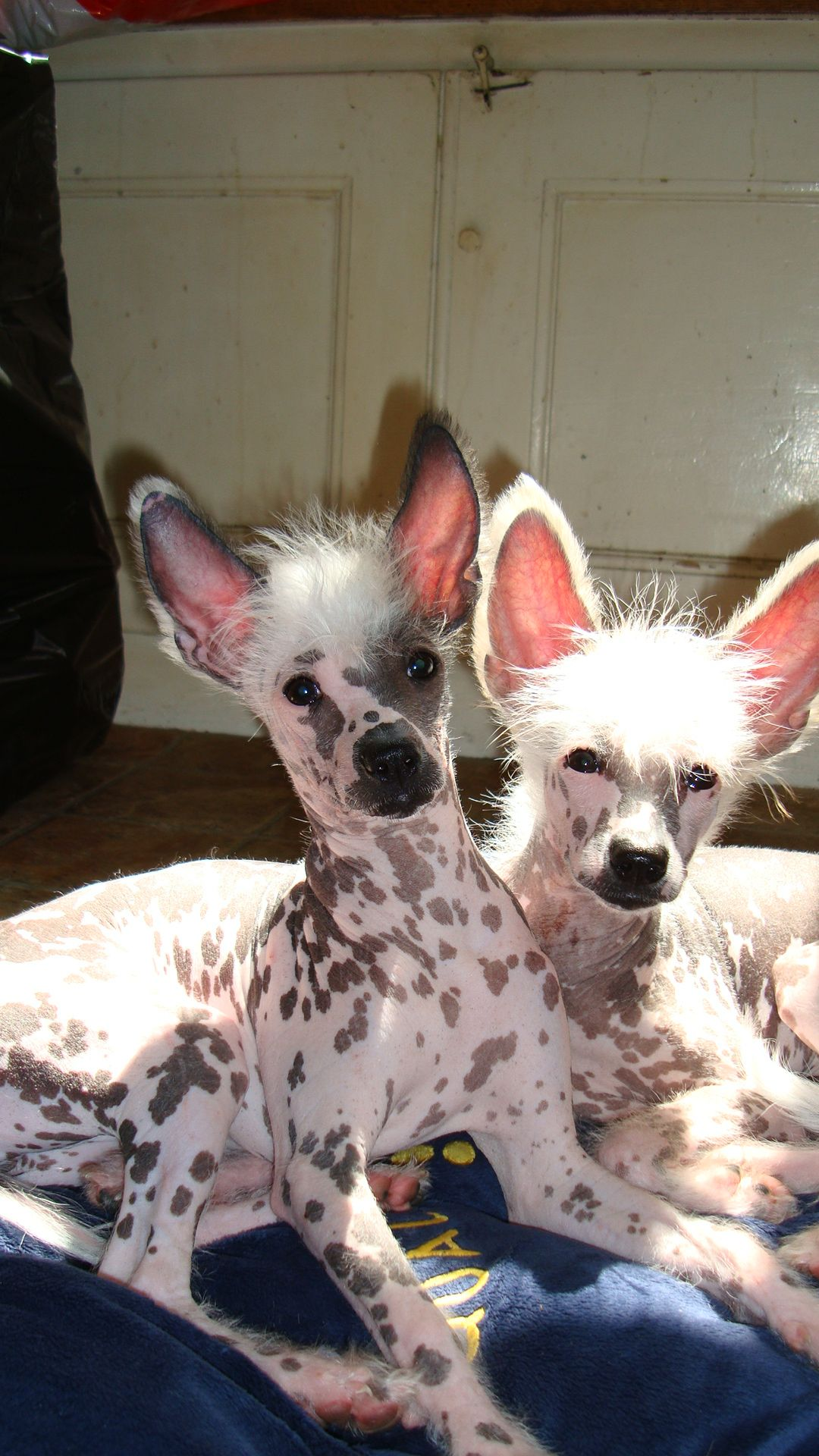 Chien Chinois Nu (Chinese Crested Dog) - Chiens de