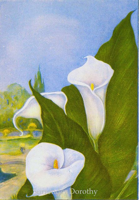 Calla Lily Flowers 1920s Country Cottage Garden Old Fashioned Botanical Lithograph Calla Lily Flowers Drawing Prints Calla Lily