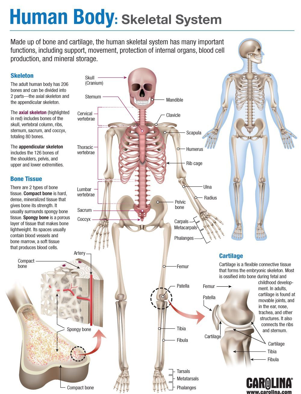infographic human body skeletal system non pin. Black Bedroom Furniture Sets. Home Design Ideas