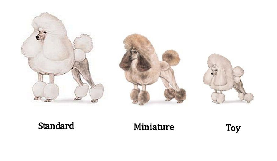 Poodle Cuts Toy Poodle Haircuts Group Picture Image By Tag