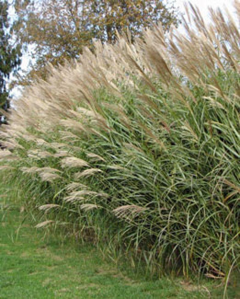silver maiden grass. 6-9 feet tall