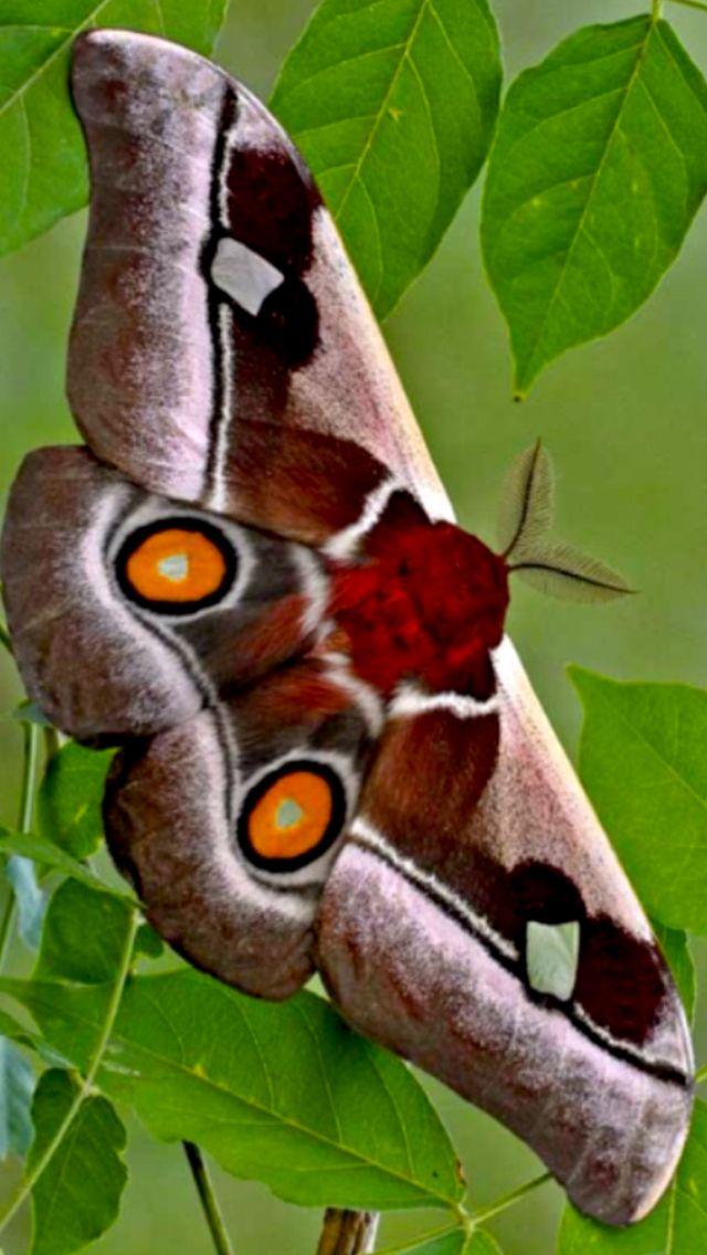 Bunaea Alcinoe Cabbage Tree Emperor Moth 虫 蝶 ちょうちょ
