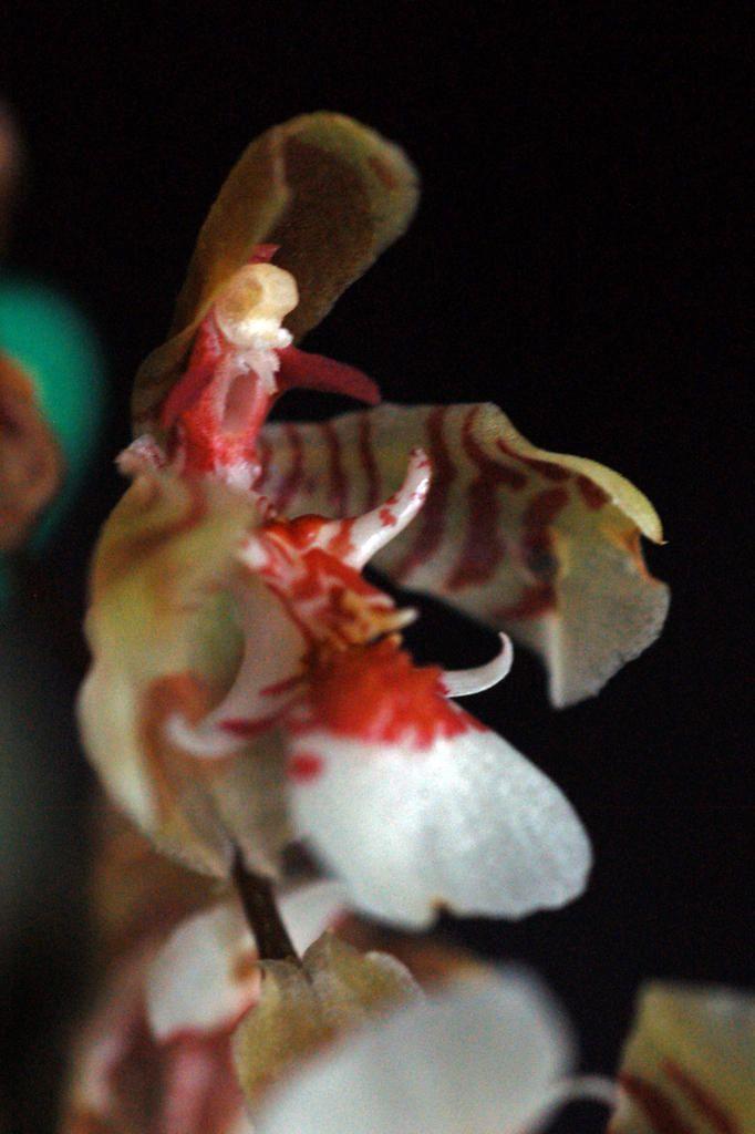 Gomesa cuneata