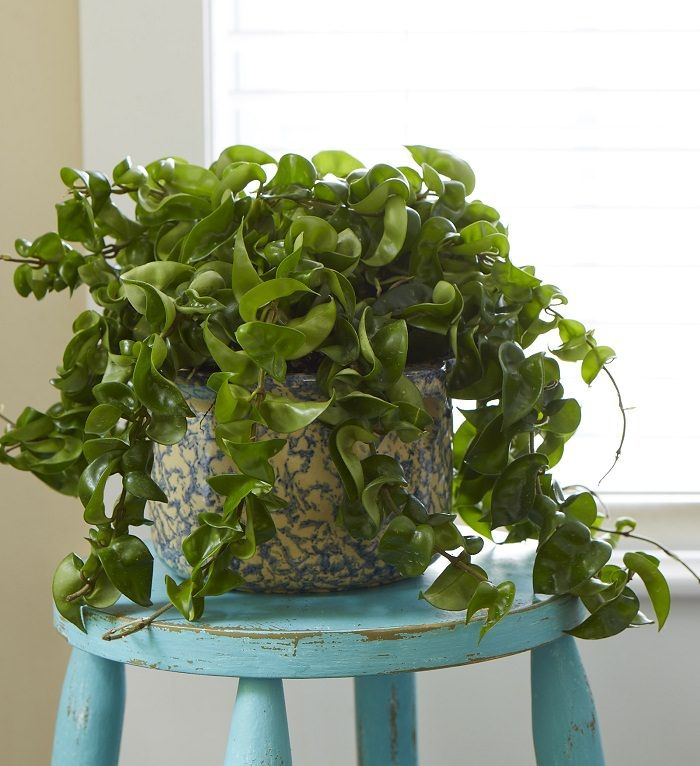 19 Best Indoor Vines Climbers You Can Grow Easily In Your Home Indoor Vines Indoor Plants Plants Indoor Apartment