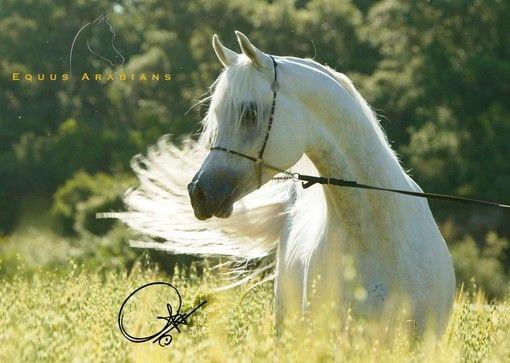 Stallions Stallion Horses Arabian Horse