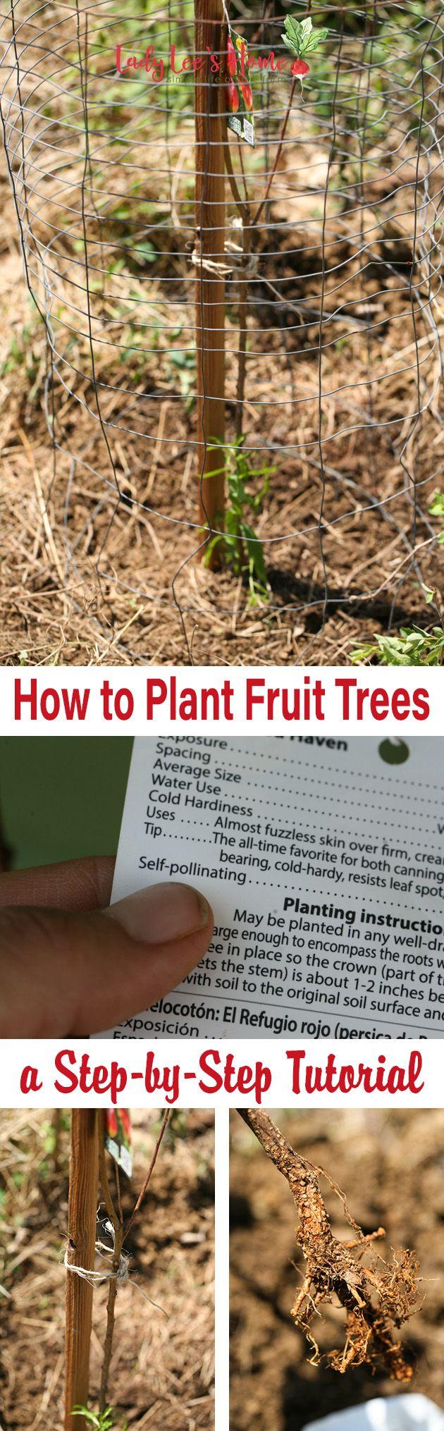 How To Plant Bare Root Fruit Trees Fruit Trees Planting Fruit Trees Fruit Garden