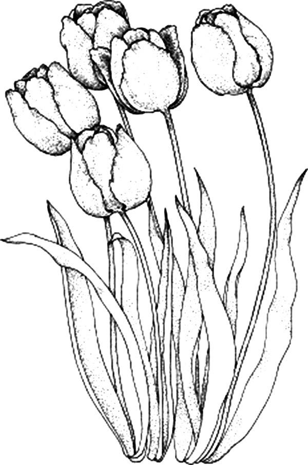 Tulips A Lovely Parrot Tulips From Holland Coloring Page A
