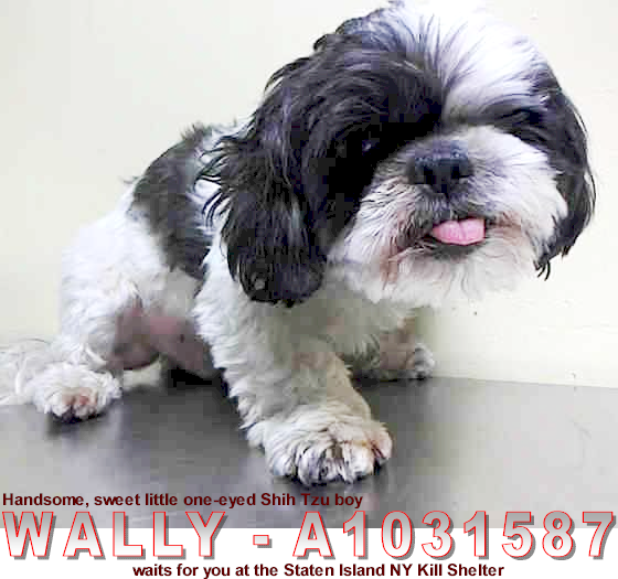 Click Here To View Shih Tzu Dogs For Adoption Or Post One In Need Rescue Me Shih Tzu Rescue Dog Adoption Shih Tzu Dog