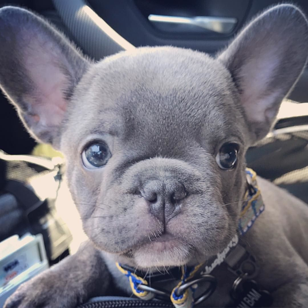Baby Frenchie Grey French Bulldog Puppy French Bulldog Puppies Cute Dogs