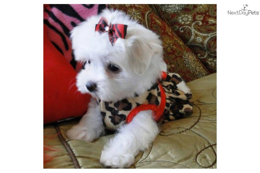 Christmas Maltese Maltese Puppy For Sale Near Texoma Texas