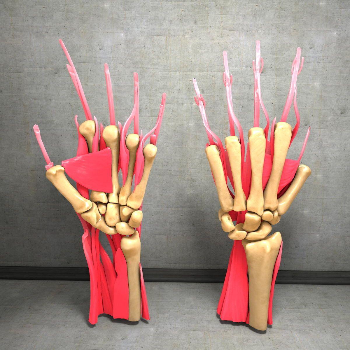 human hand muscles c4d