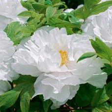 Japanese tree peony. Pure White