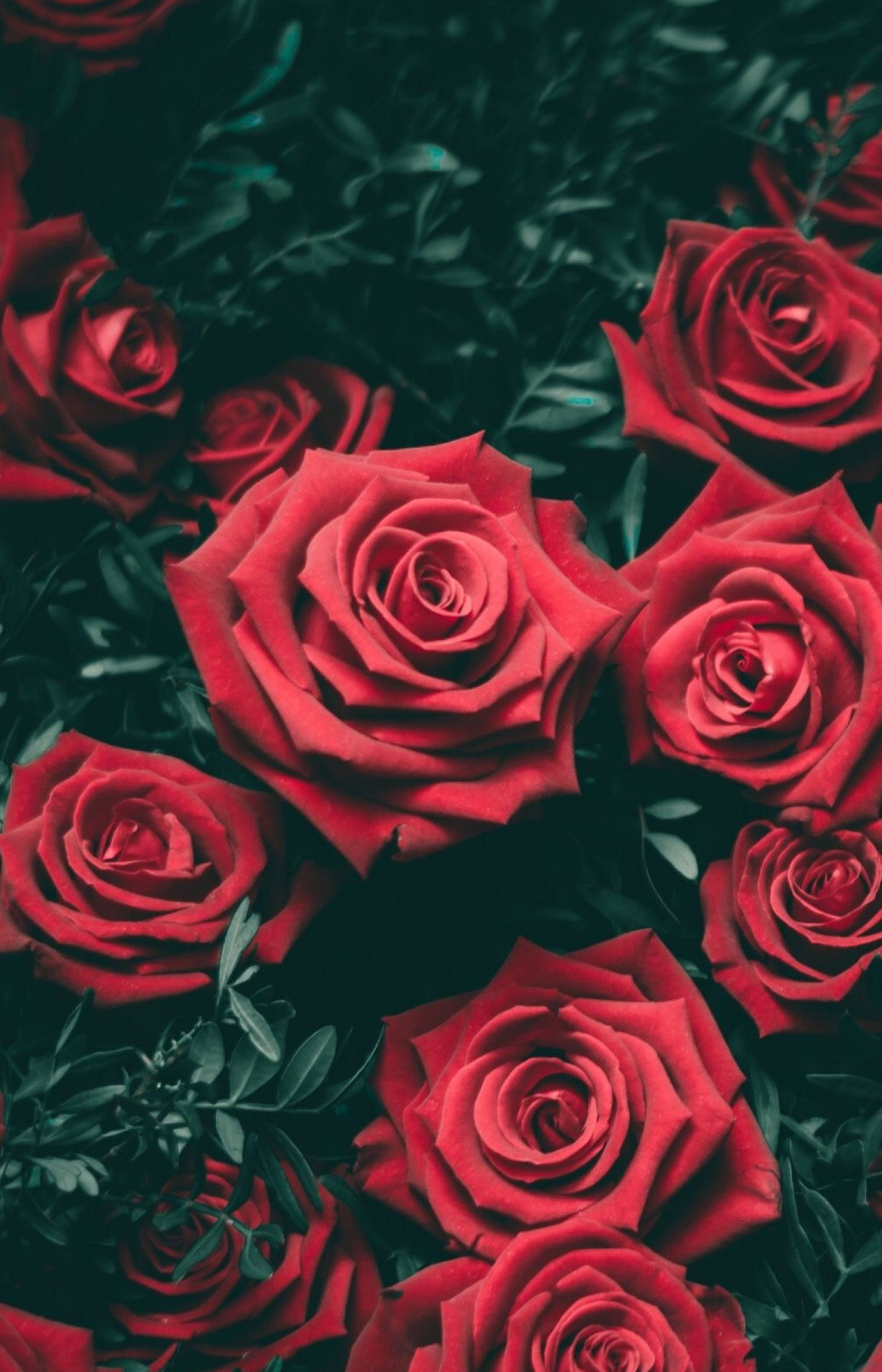 Background Red Roses Wallpaper Flower Iphone Wallpaper Rose